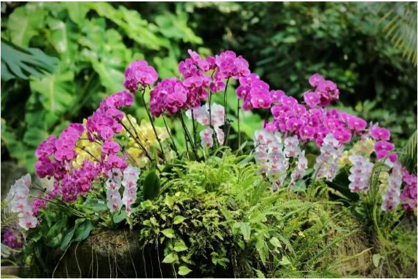 蝴蝶兰进入盛花期 绽放新年市场