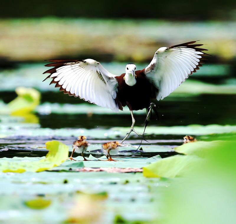 《秘境之眼》关注高邮湖湿地这些鸟儿携子亮相央视