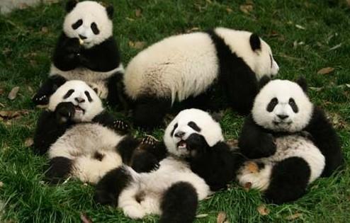 红山动物园大熊猫雪中嬉戏萌翻众多游客