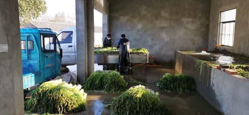 扬州最大水芹种植基地10万公斤水芹滞销求助