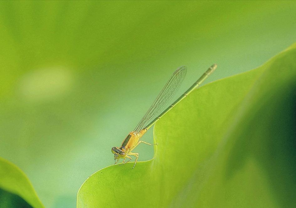 小荷才露尖尖角 早有蜻蜓立上头