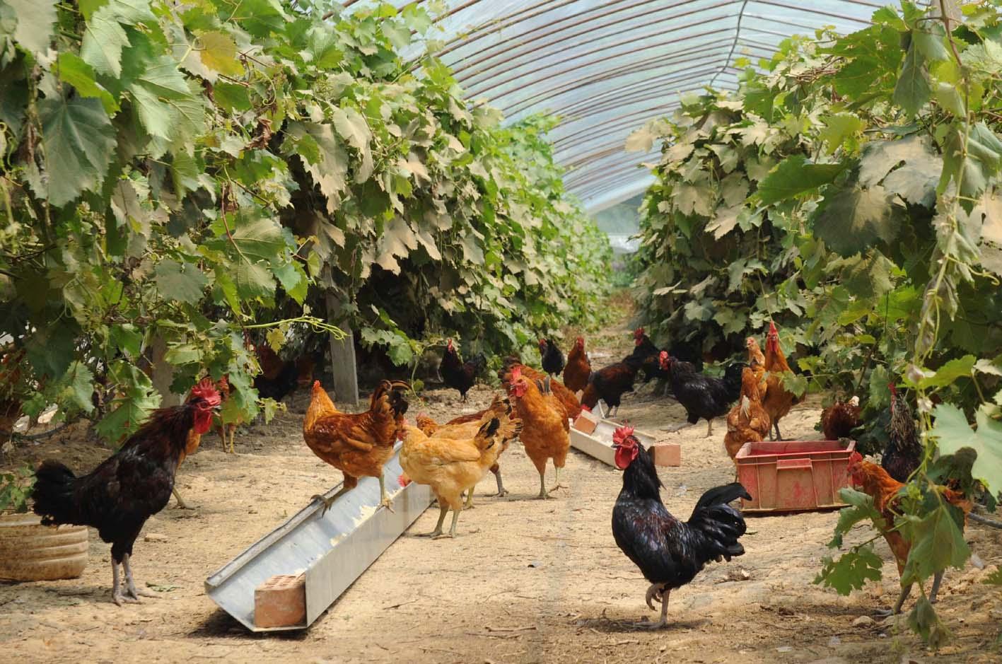 发展绿色生态养殖葡萄架下养鸡