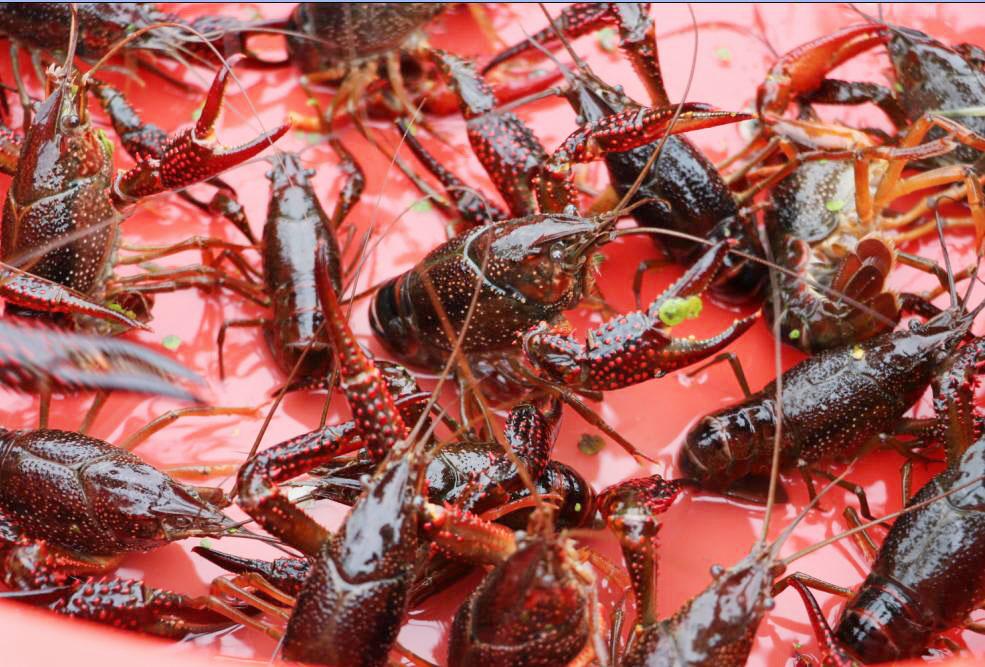 夏季小龙虾一般养不大?专家这样养45天变两虾
