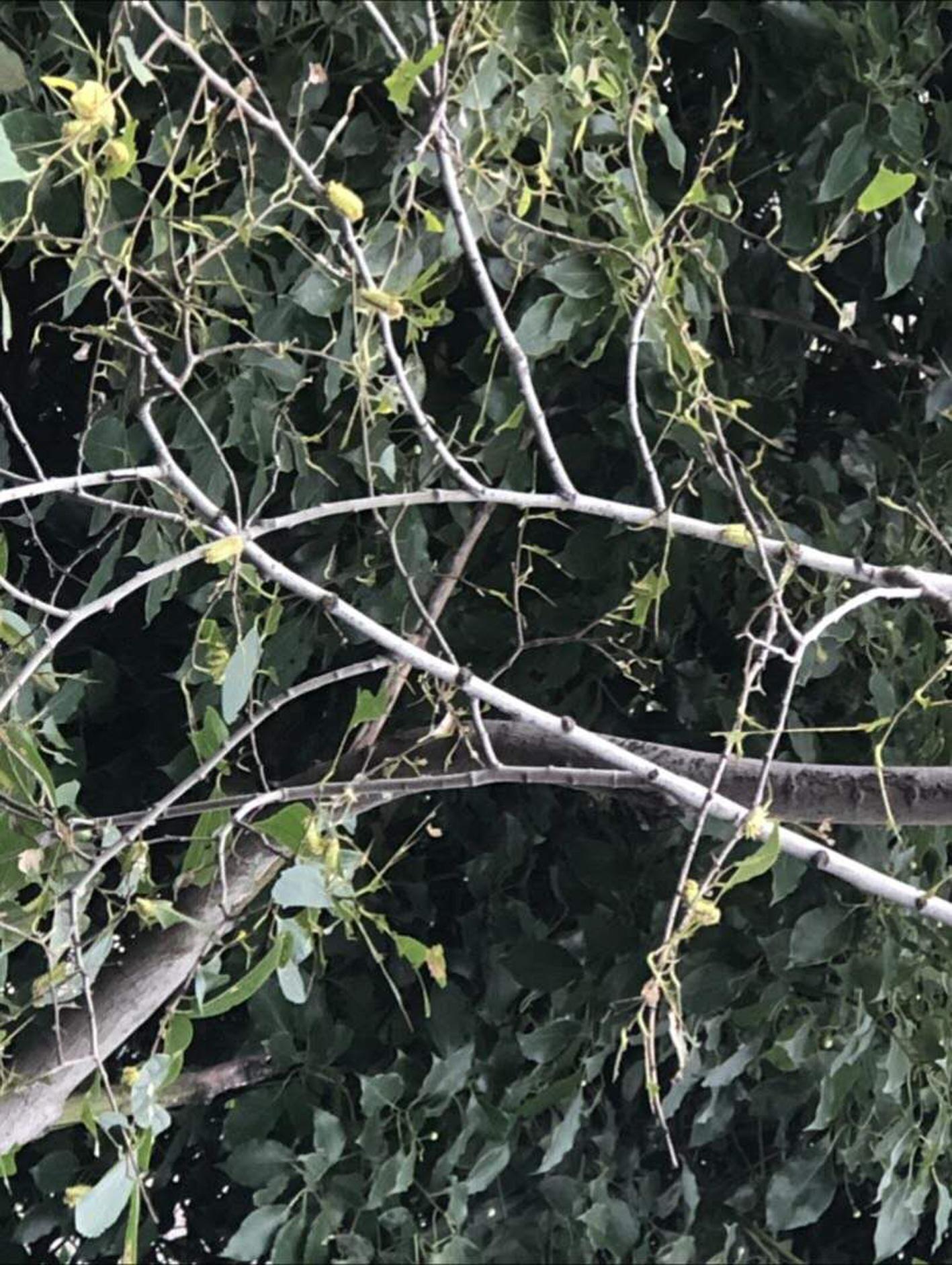 【县市】树叶被啃精光   洋辣子进入高峰期