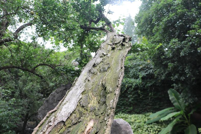 树活一张皮! 150岁银薇真就如此