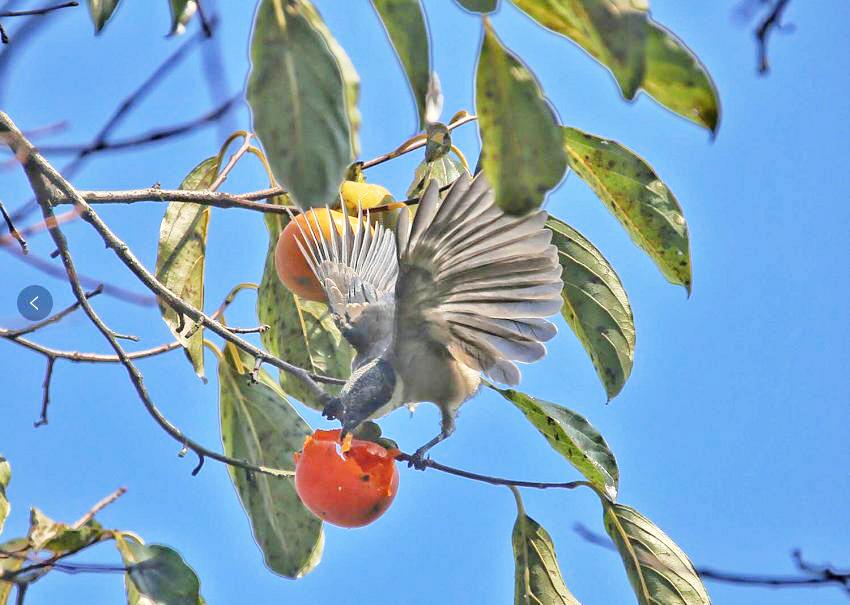 柿子甜否?香甜可口的柿子让鸟儿吃得兴高采烈