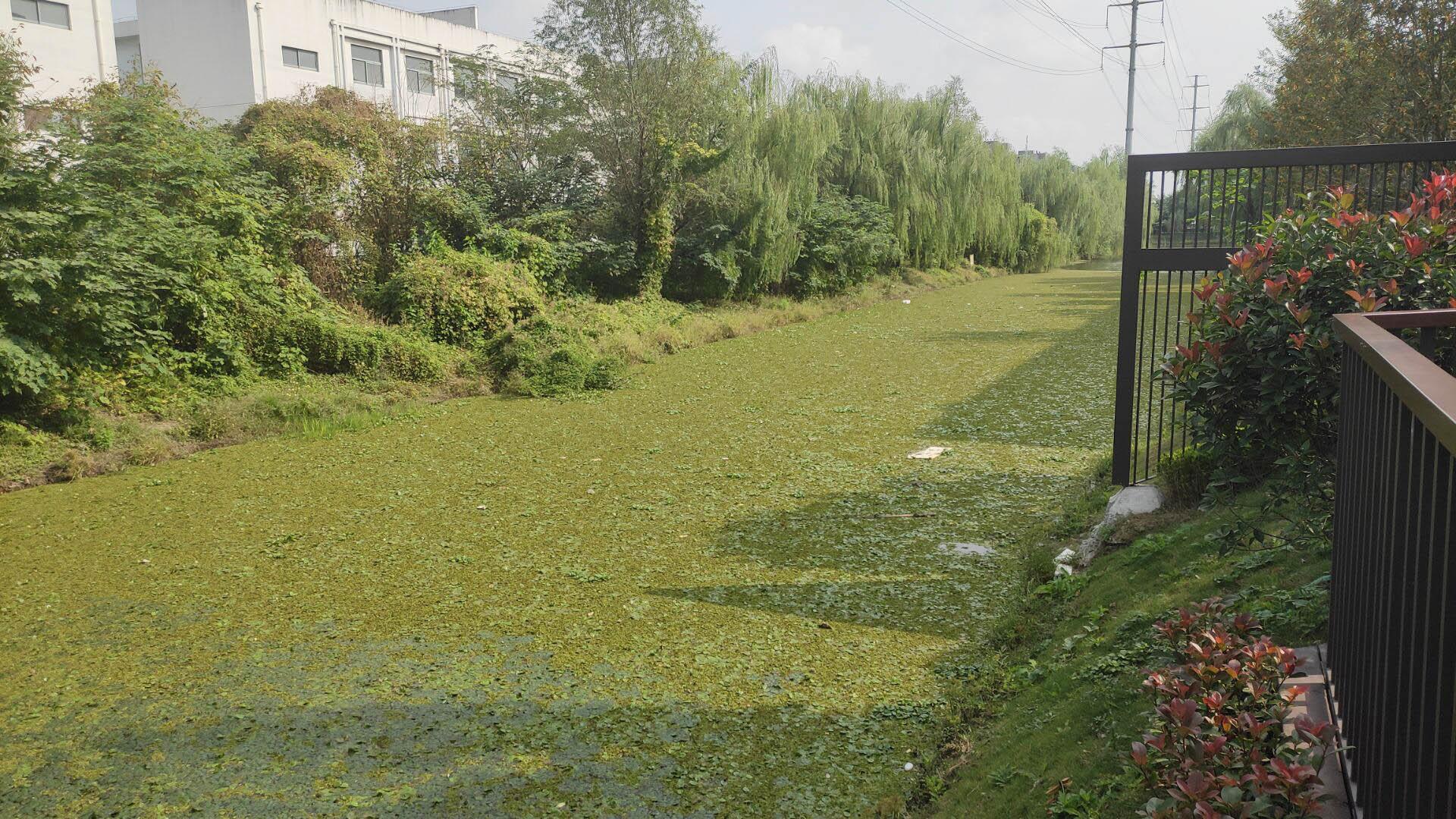 中信泰富锦园下圩河漂浮大量植物垃圾
