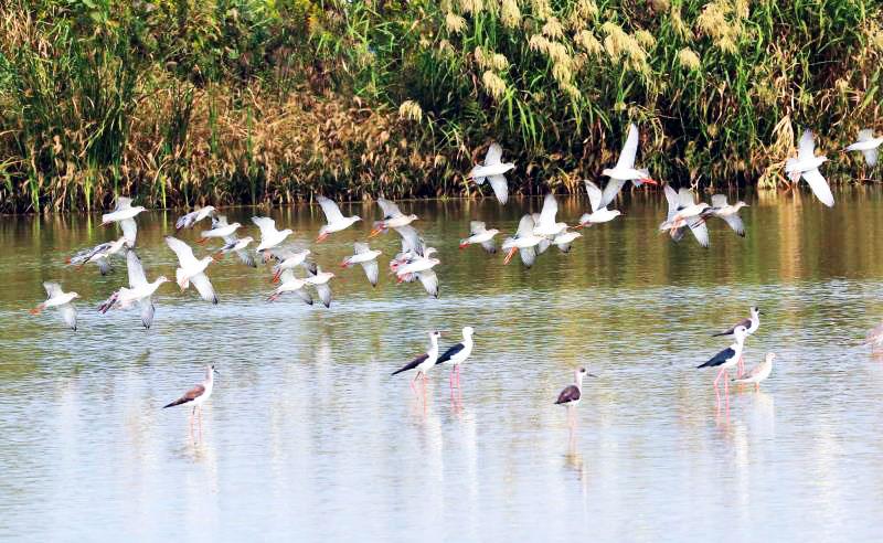成群候鸟光临扬州