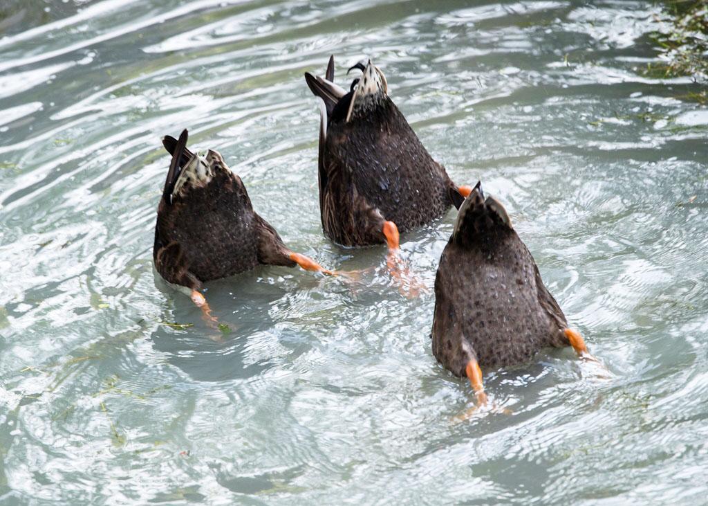 """""""水上芭蕾""""! 三只鸭子统一玩倒立甚是有趣"""