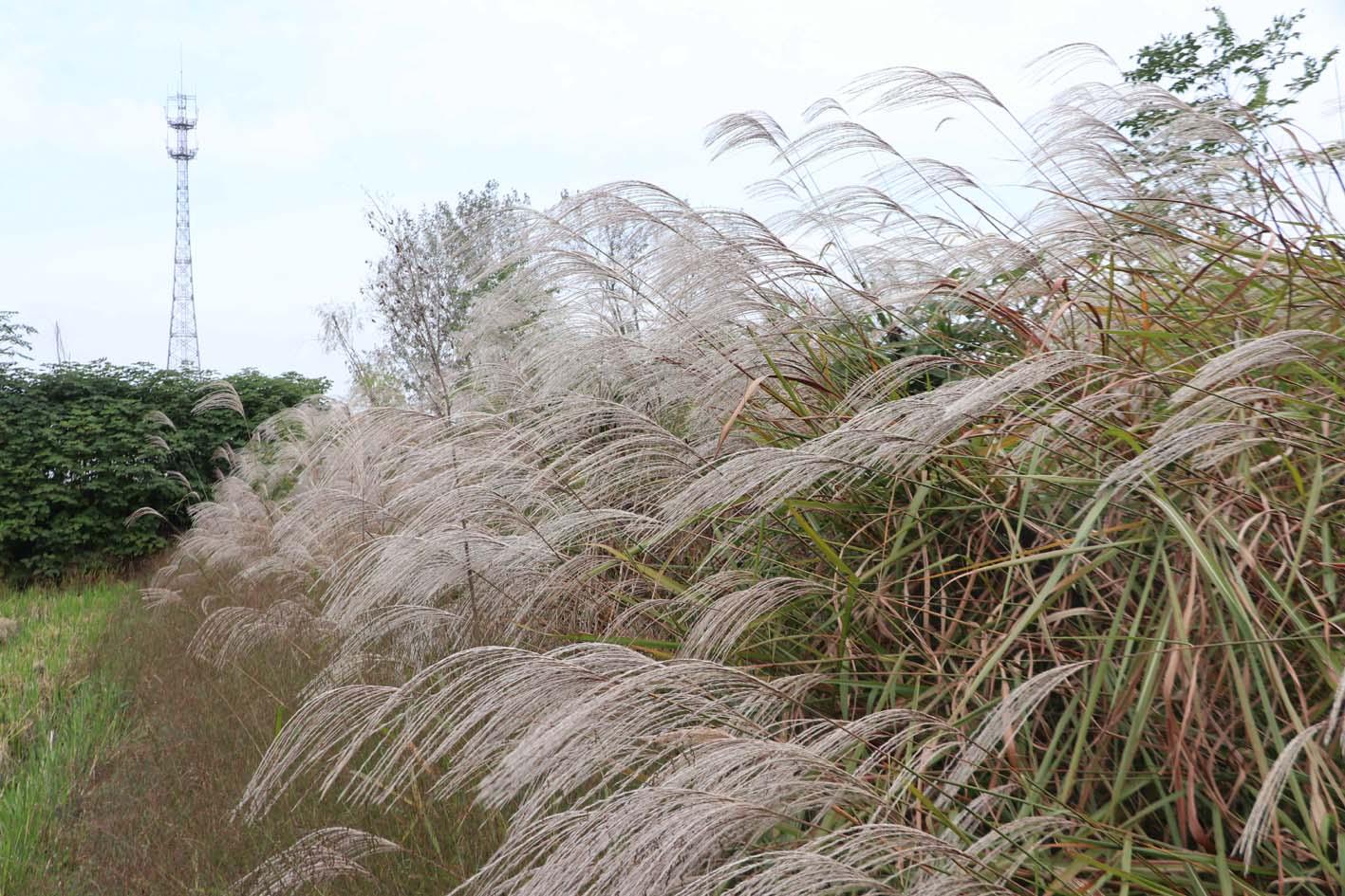 最佳观赏期 扬州的秋天这些地方可以赏蒹葭