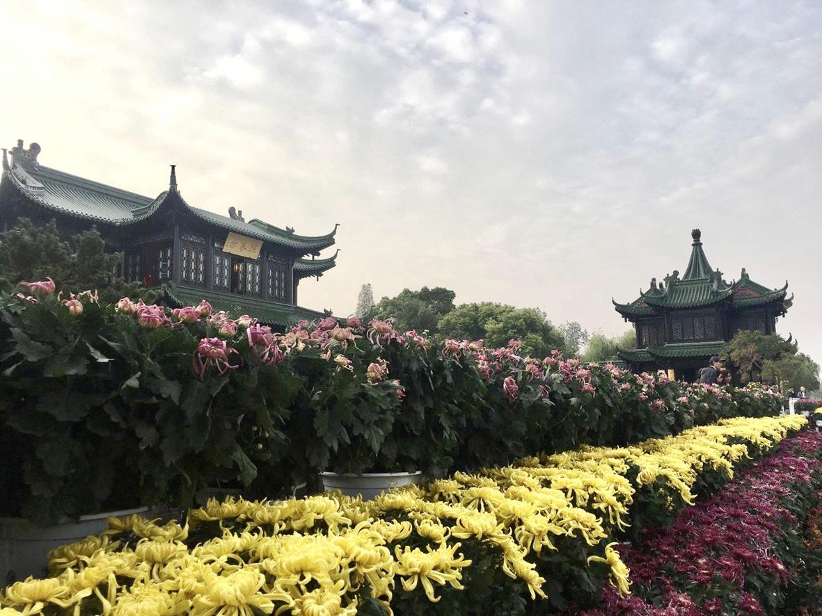 瘦西湖菊花会11月1日开幕 近千种菊花等您来赏