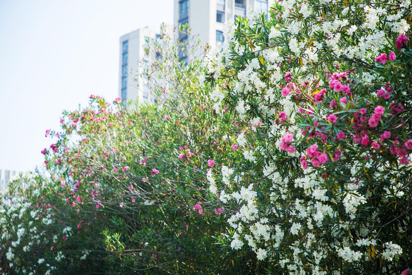 白如雪红似火 扬城夹竹桃花海惊艳盛开