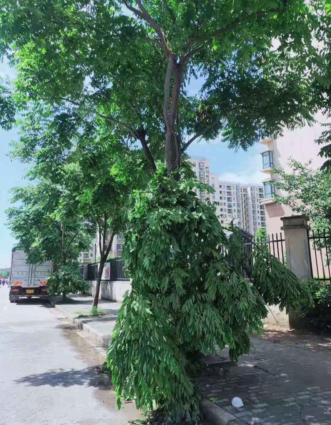 汤汪花园与联谊南园之间多棵行道树枝干断裂