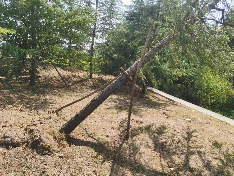 S353省道和202县道交叉口倾斜松树已扶正