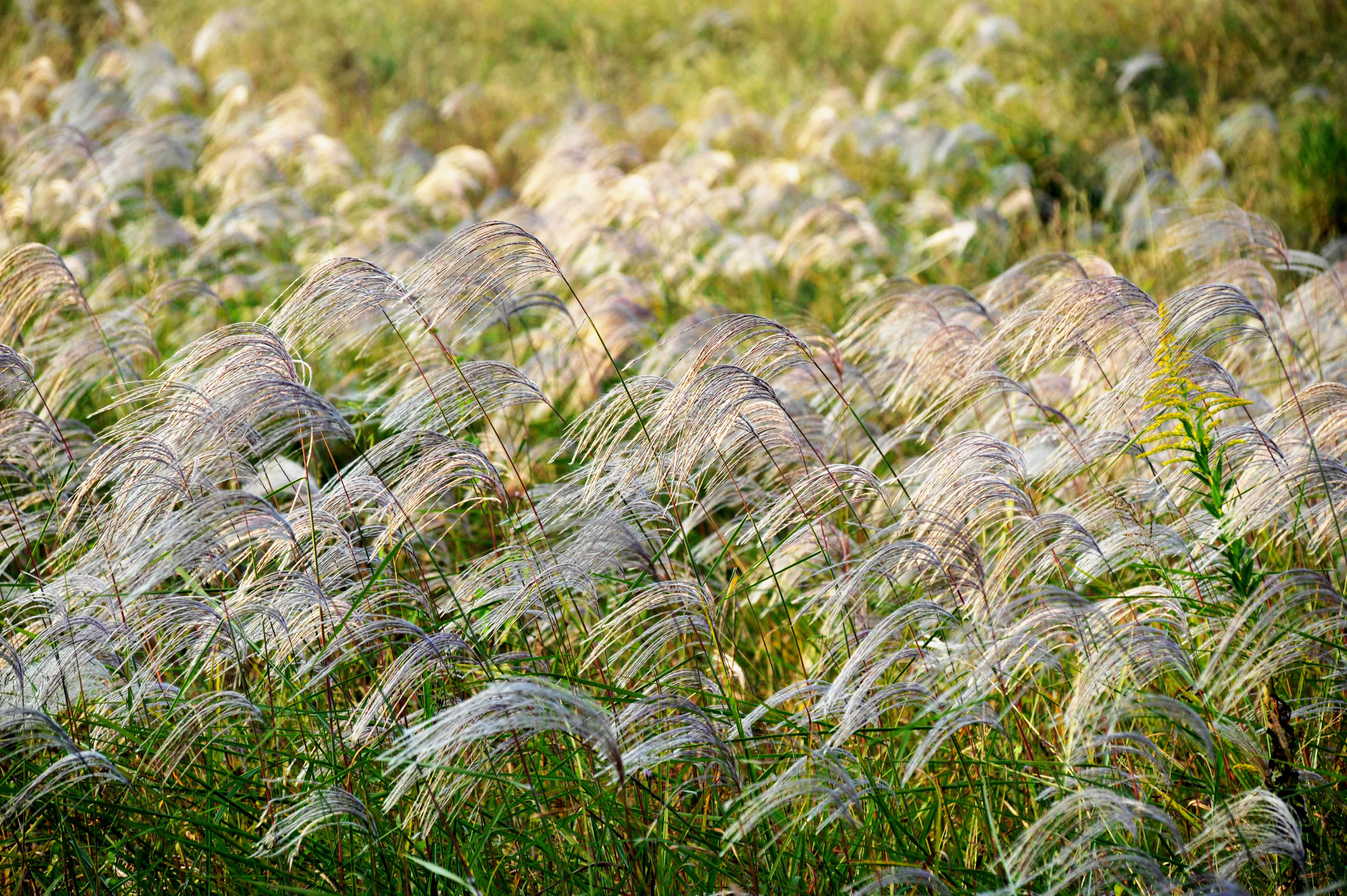 芦苇在秋风中摇曳生姿